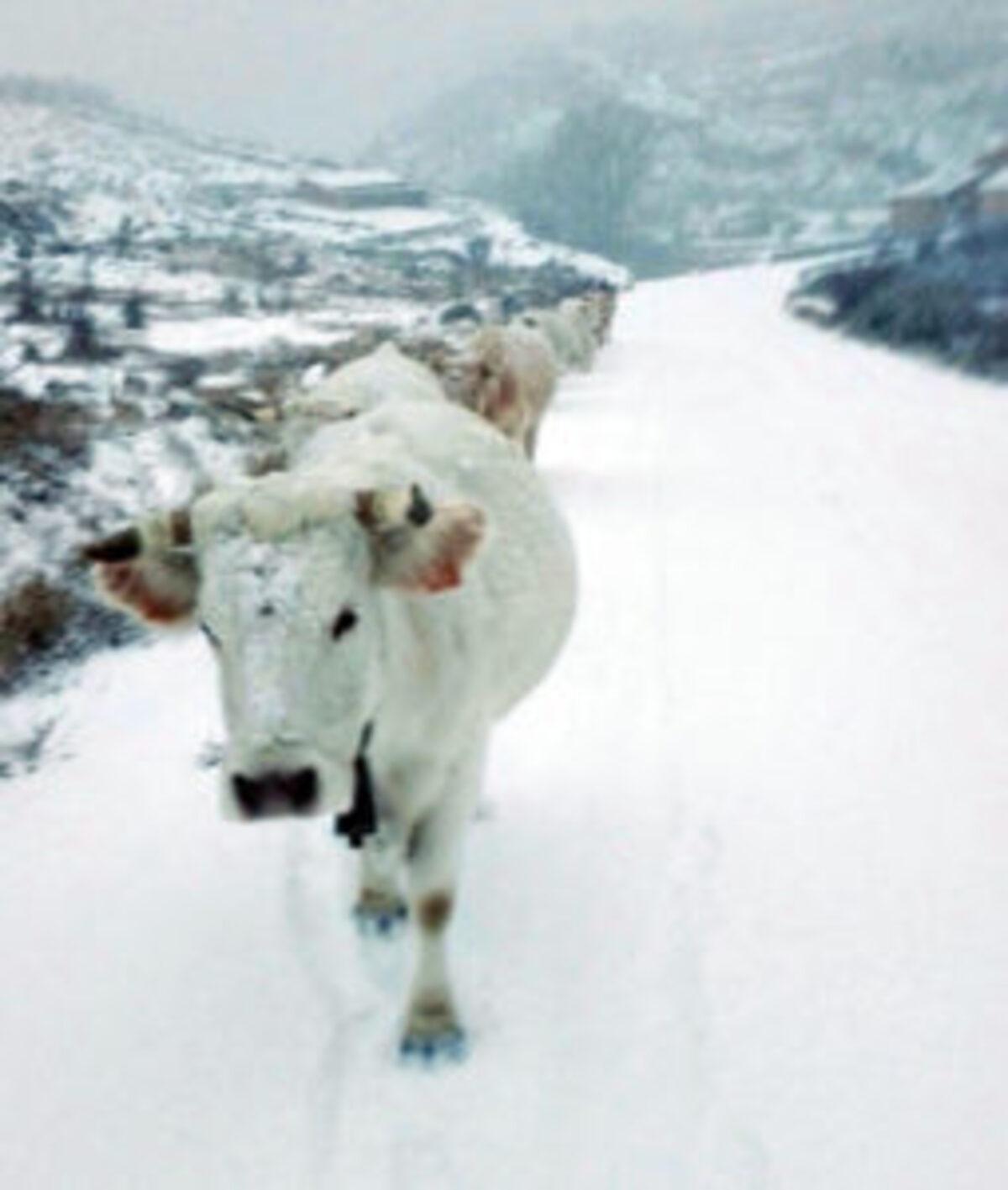 alerta-intensa-nevada-maestrazgo-bajo-aragon-vacas