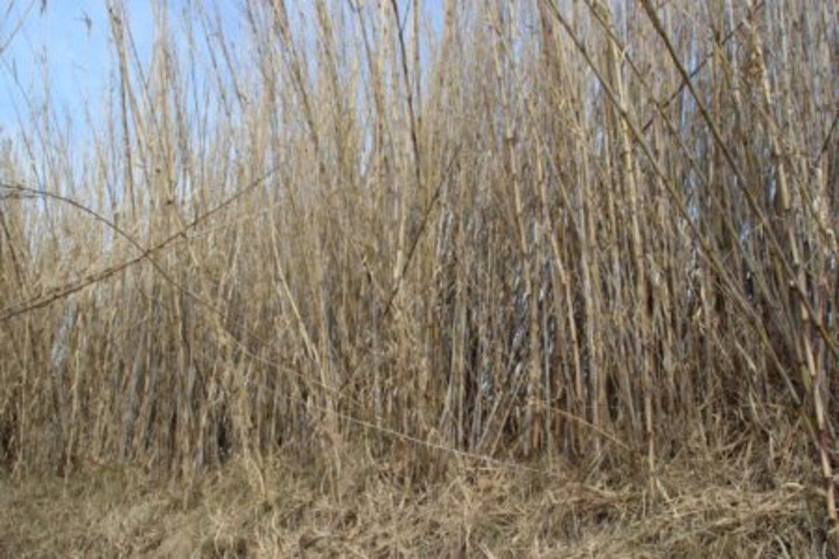 territorio-acogera-prueba-piloto-crear-biomasa-canas (1)
