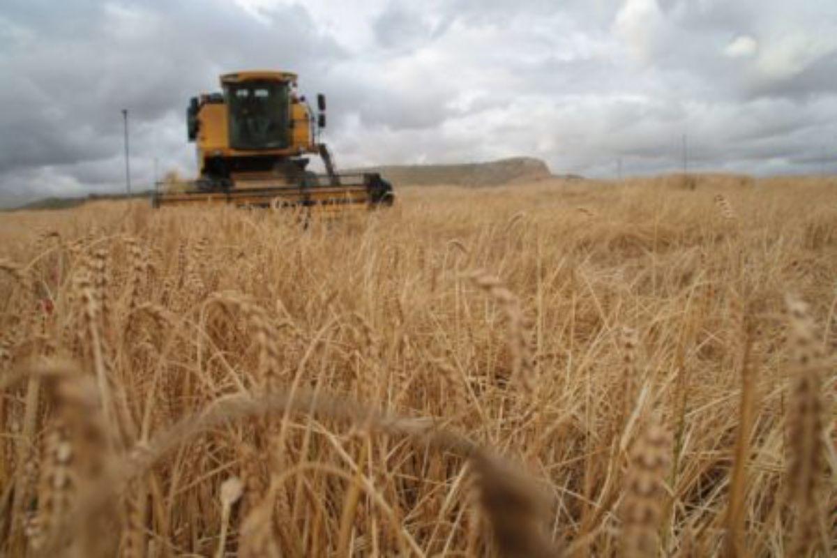 cosechadora campo trigo