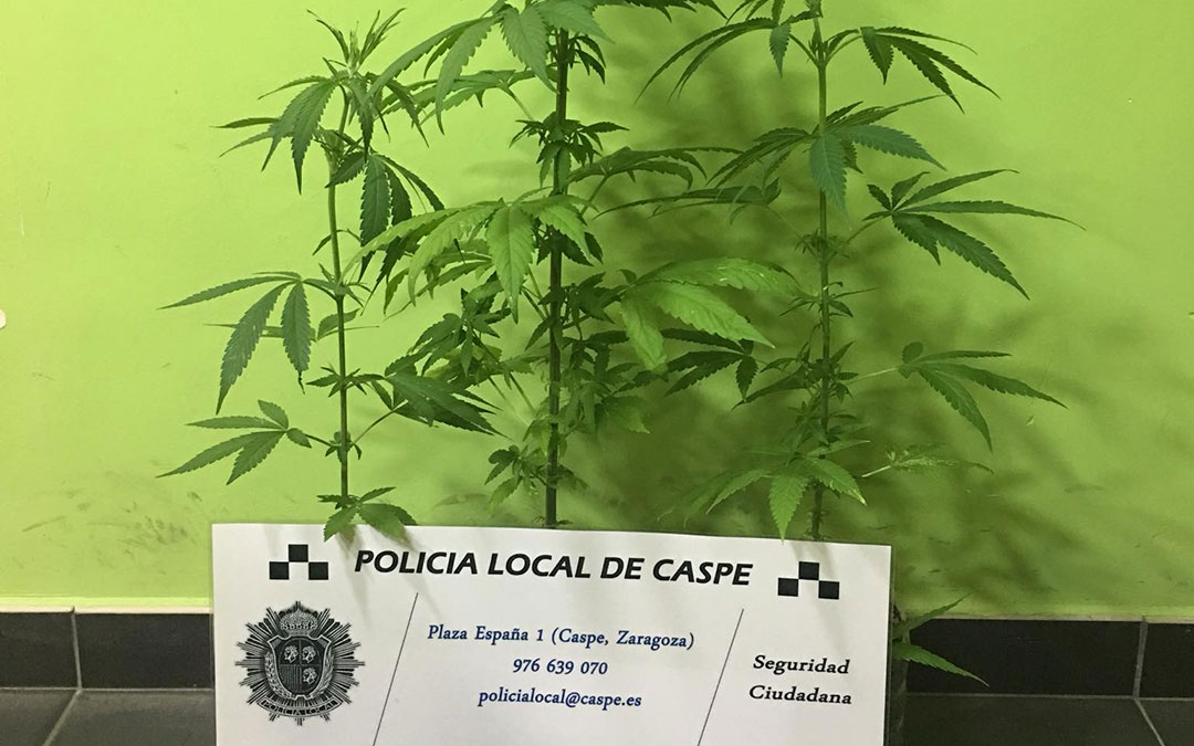 planta-marihuana-caspe