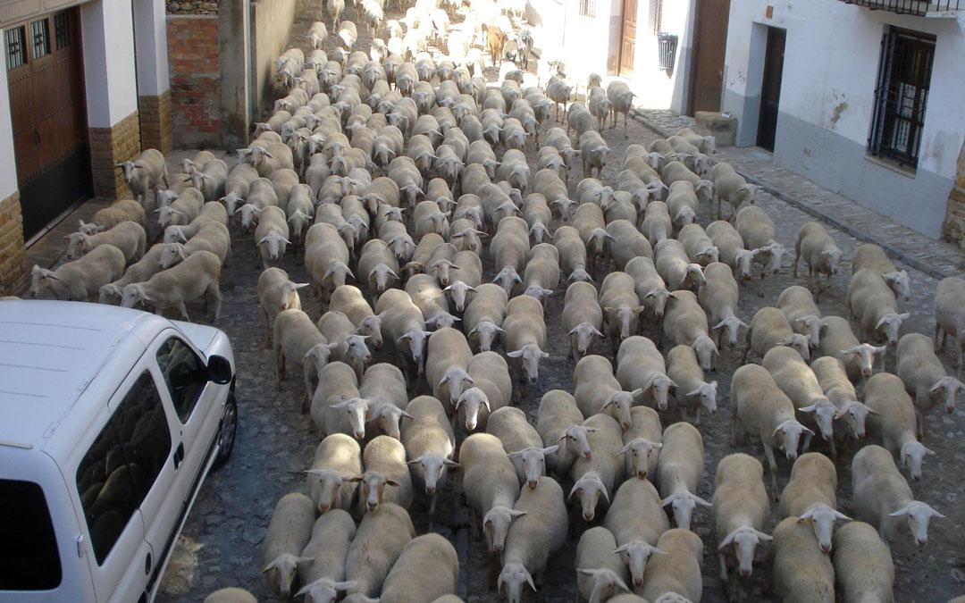 ovejas-paso-la-iglesuela