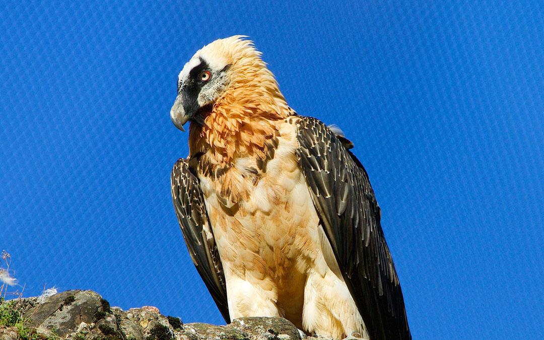 El quebrantahuesos llama la atención por su espectacular vuelo y sus colores llamativos.