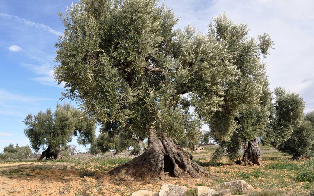 olivos centenarios valderrobres
