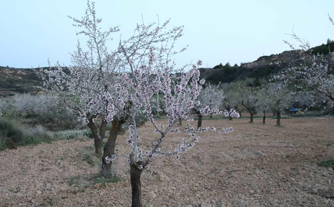 El secano bajoaragonés reivindica los regadíos para salvar el almendro