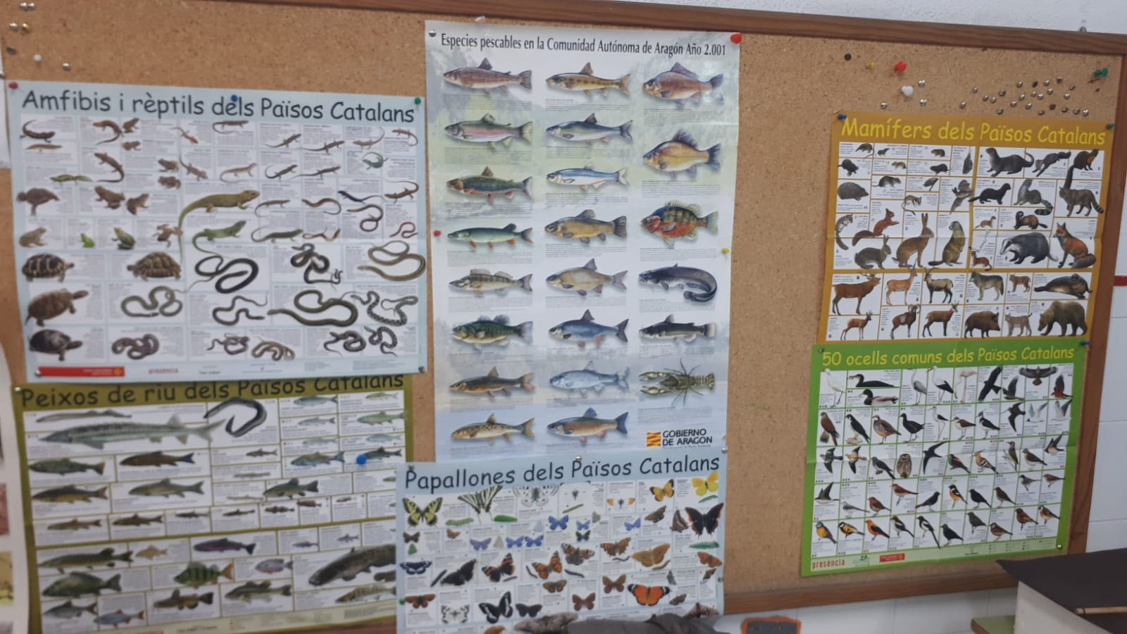 Carteles con los anfibios, mamíferos, peces y otros animales bajo el título de Països Catalans en el corcho del aula de 2º de Primaria del colegio de Valderrobres