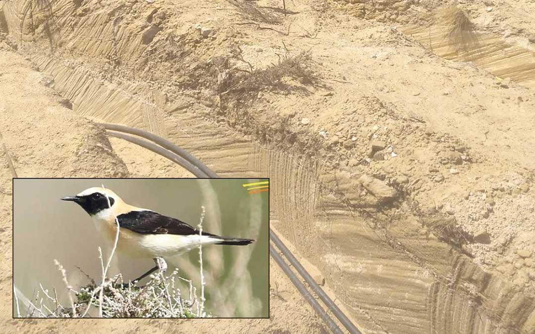El nido de collalba rubia se ha descubierto en una zanja de cableado.