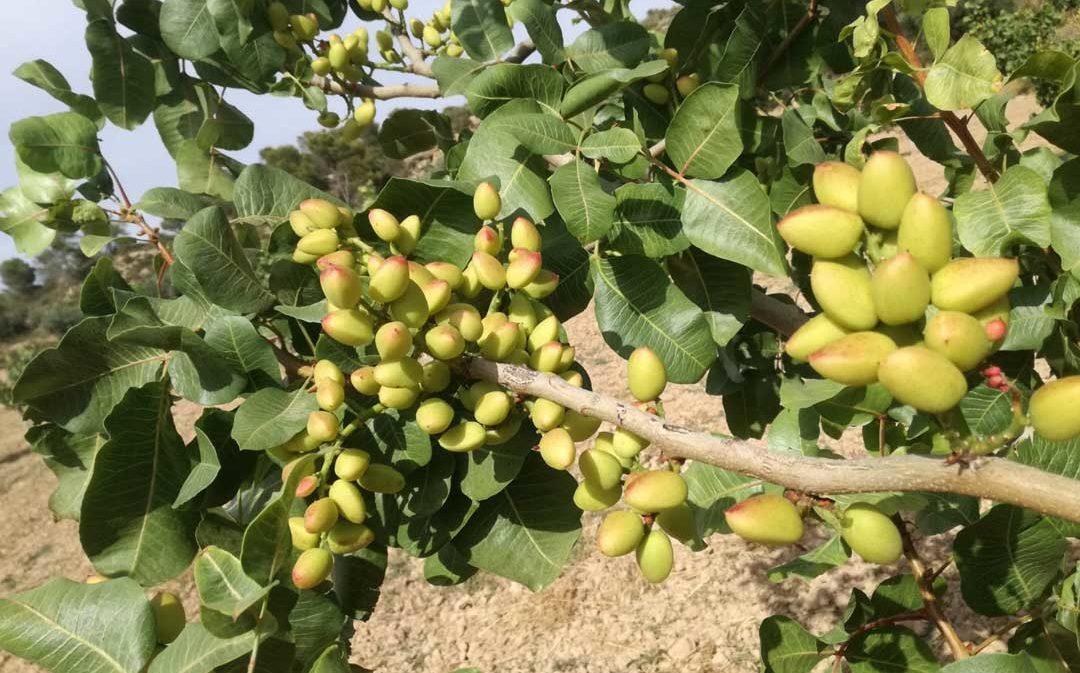 El cultivo del pistacho en la Semana Agraria del Bajo Aragón-Caspe