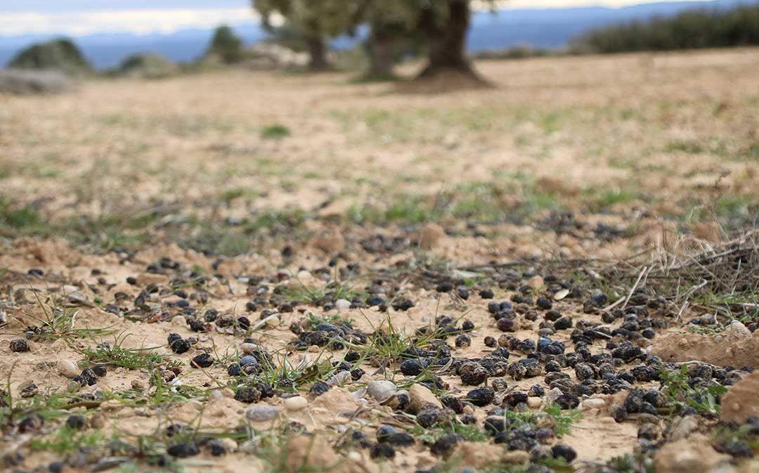 Las lluvias no palian la sequía, que preocupa en olivo y almendro