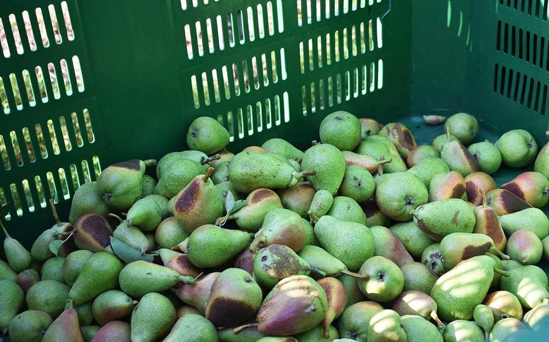 La campaña frutícola se complica: los precios bajan y aumenta el coste de producción