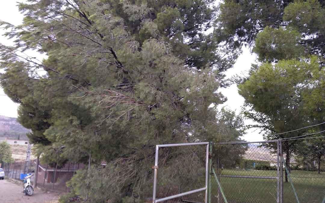 El pino que cayó derribado en las piscinas de Urrea. Valdecara / Toño Martín