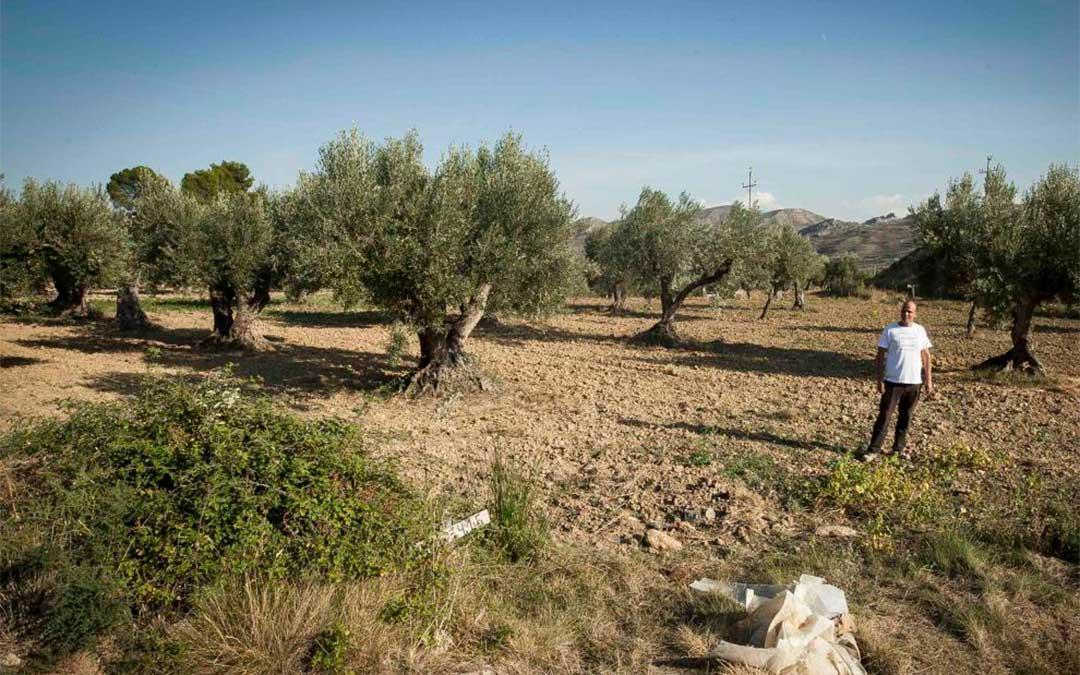Campo de olivos en la localidad de Oliete./ Laura Uranga