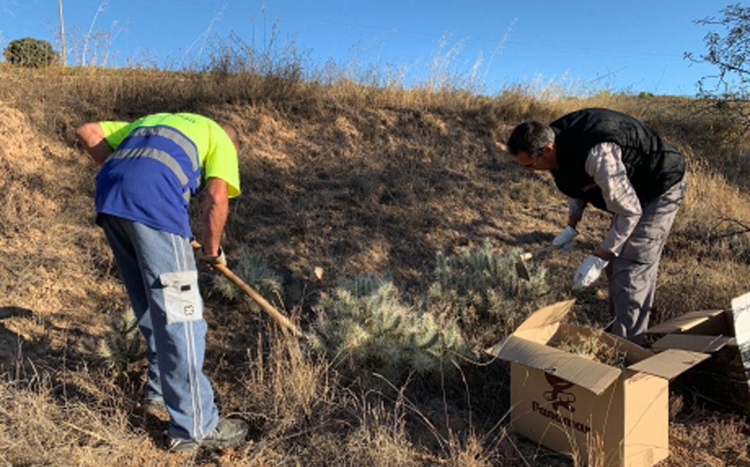 El Gobierno de Aragón trabaja en el control de flora exótica invasora en Andorra y Mas de las Matas