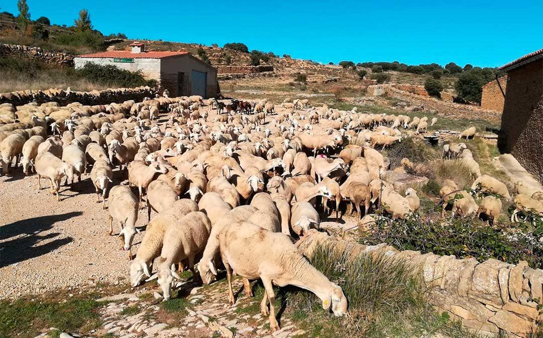 Más de 1000 ovejas recorren La Iglesuela del Cid
