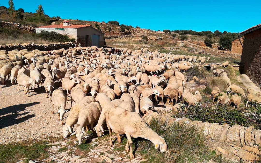 Más de 1.000 ovejas pasan por La Iglesuela del Cid para llegar a Castellón./ Ayuntamiento de La Iglesuela del Cid