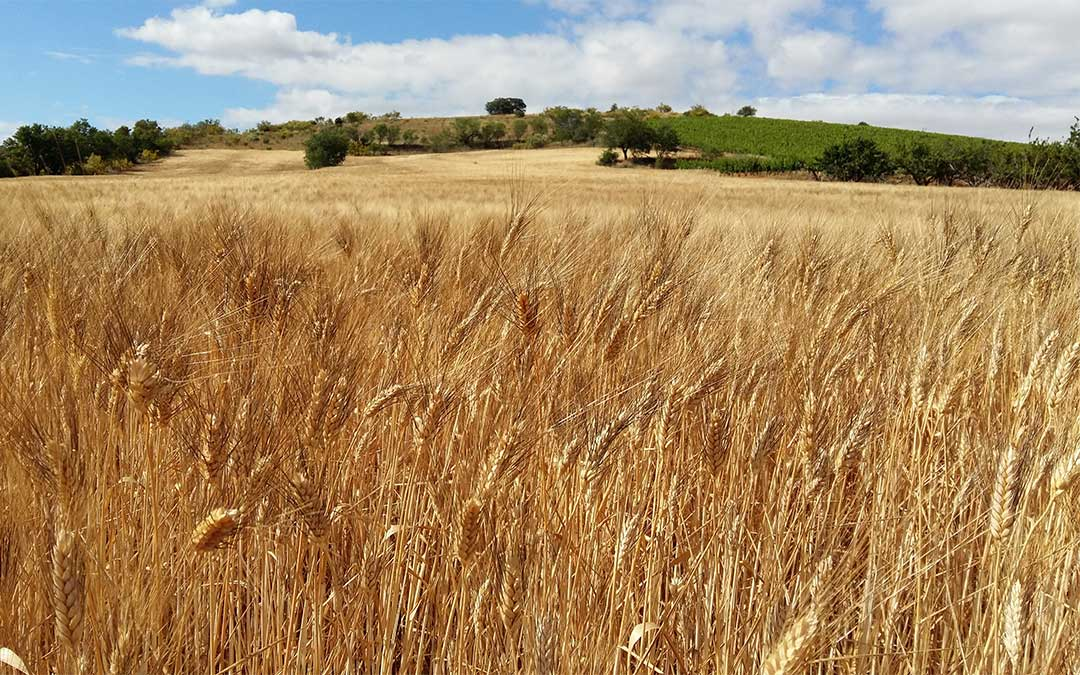 Campo de trigo./ DGA