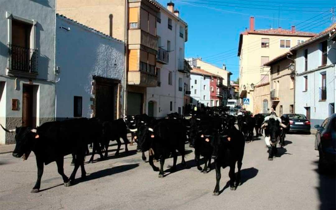 El ganado trashumante recorre la cañada real de paso de ovejas y vacas en La Iglesuela del Cid.