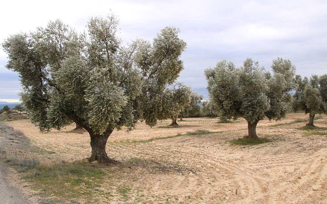 Un campo de olivos cercano a Alcañiz | Adrián Monserrate