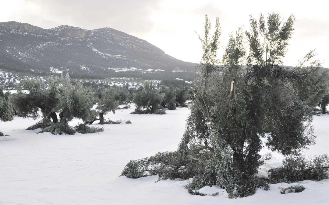A partir de los 500 metros de altitud el 50% de las ramas de los olivos están en el suelo. No podrán volver a producir hasta dentro de tres o cuatro años / J. de Luna