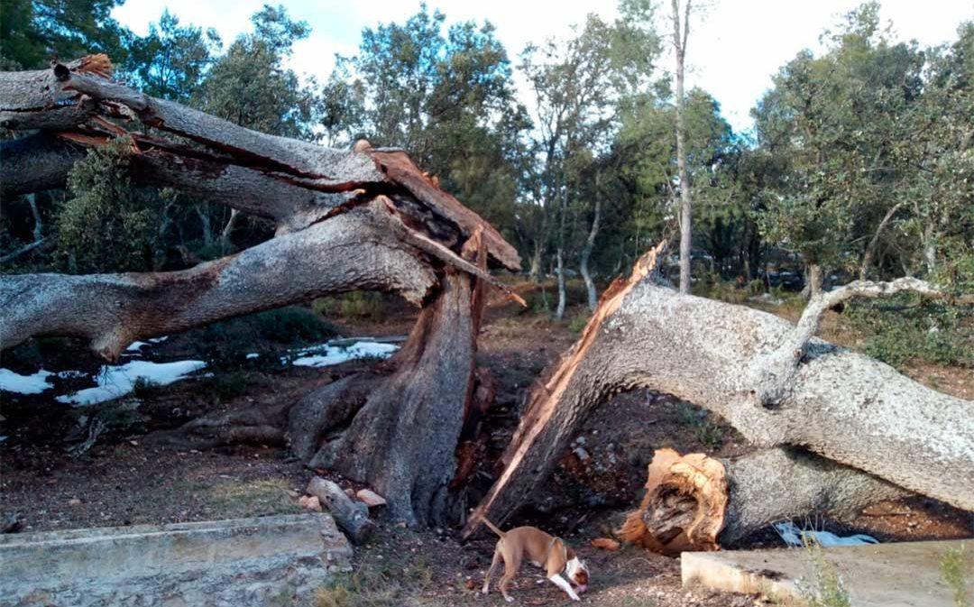 La casi milenaria carrasca del mas de la Serra de Monroyo sucumbe al temporal