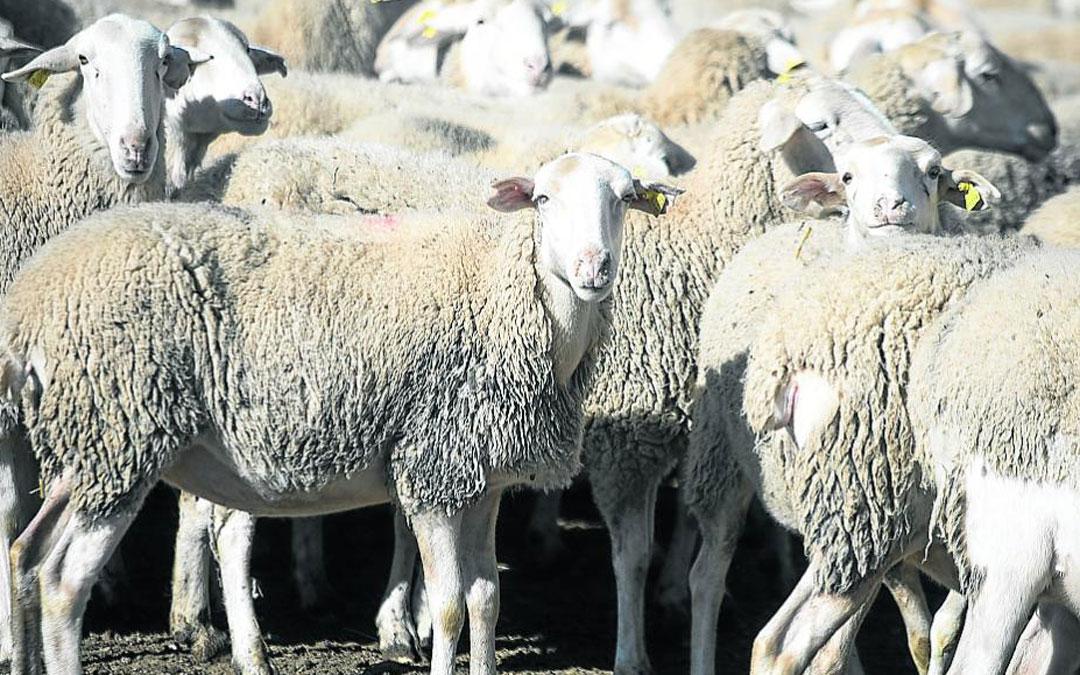 La ganadería extensiva de ovino es un sector con importante presencia en Aragón./L.U. HERALDO