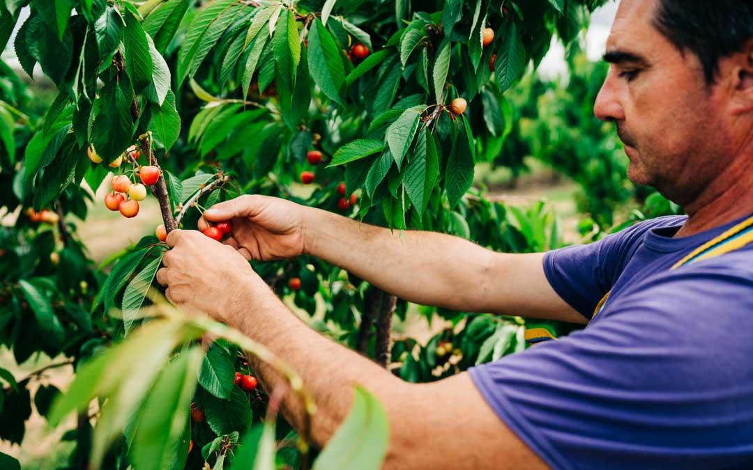 El propietario de una finca de Caspe, este lunes, comprobando el estado de las cerezas de su finca para la recolección / Cesáreo Larrosa