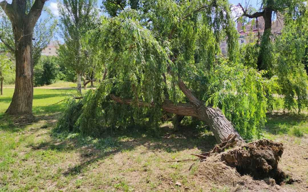 Cae un árbol enfermo y de gran tamaño en la Glorieta de Alcañiz