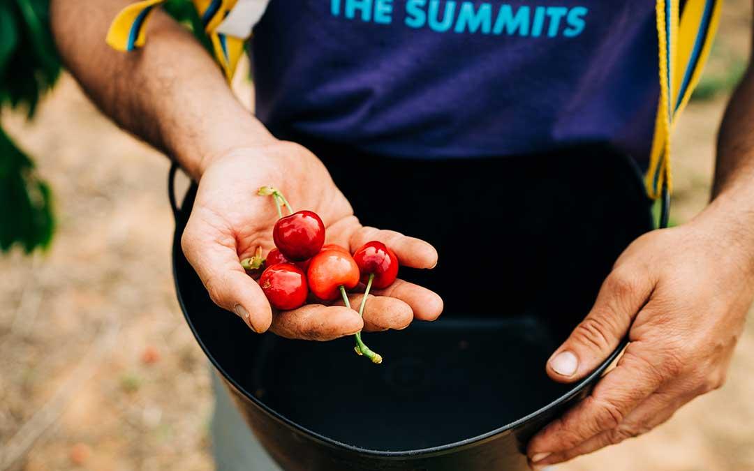 La primera fruta que se recoge en campaña es la cereza. Cesareo Larrosa