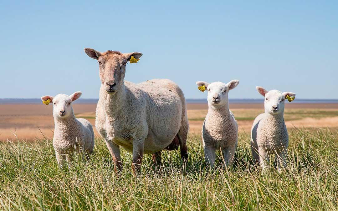 La cabaña ovina en España lleva descendiendo progresivamente desde hace más de 20 años, según reivindican desde la agrupación. /Pixabay