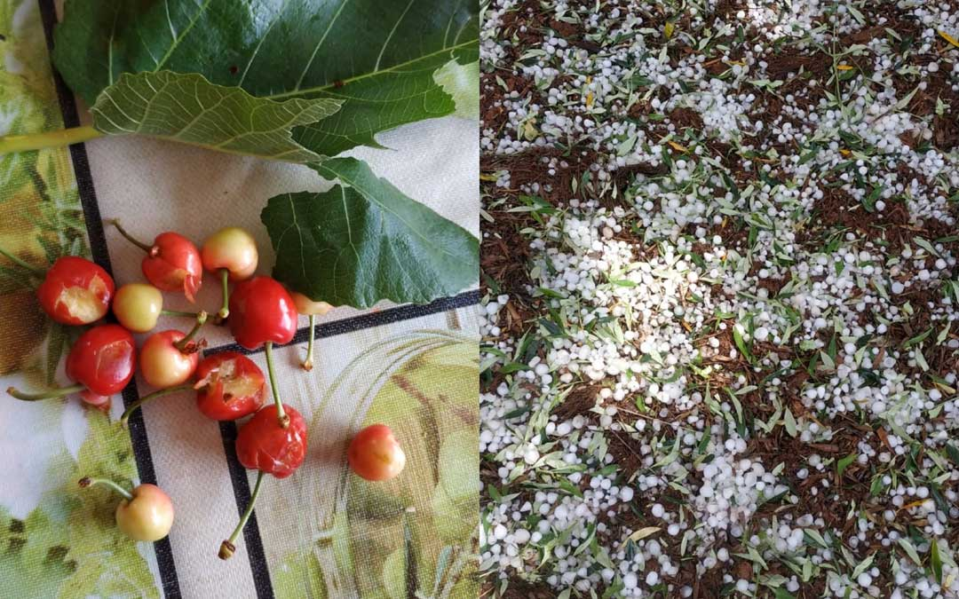 Imagen de unas cerezas dañadas por el granizo, que aunque de pequeño tamaño, cayó muy seco / Ayto. Albalate