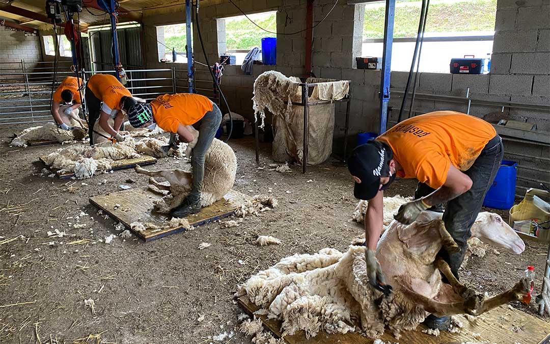 Los esquiladores uruguayos trabajan en una de las explotaciones ganaderas asociadas a Oviaragón-Grupo Pastores./ Foto de Oviaragón-Grupo Pastores