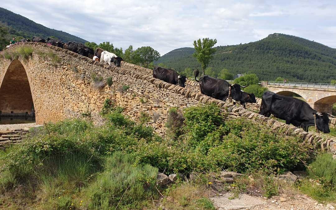 El ganado pasando por el puente de la Pobla de Bellestar./ Ayto. Iglesuela