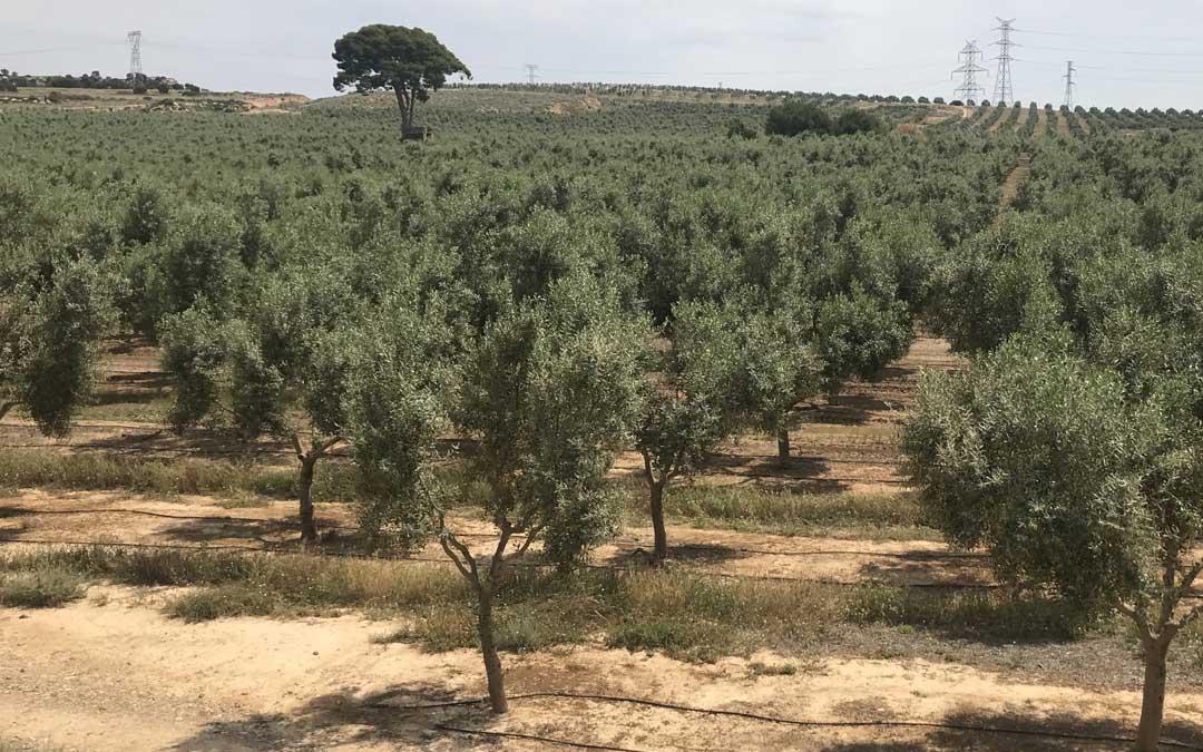 Los olivos de Almazara Artal se encuentran ubicados en las localidades de Escatrón, Sástago y Alborge, dentro de la demarcación que da origen a la D.O. de Aceite del Bajo Aragón.