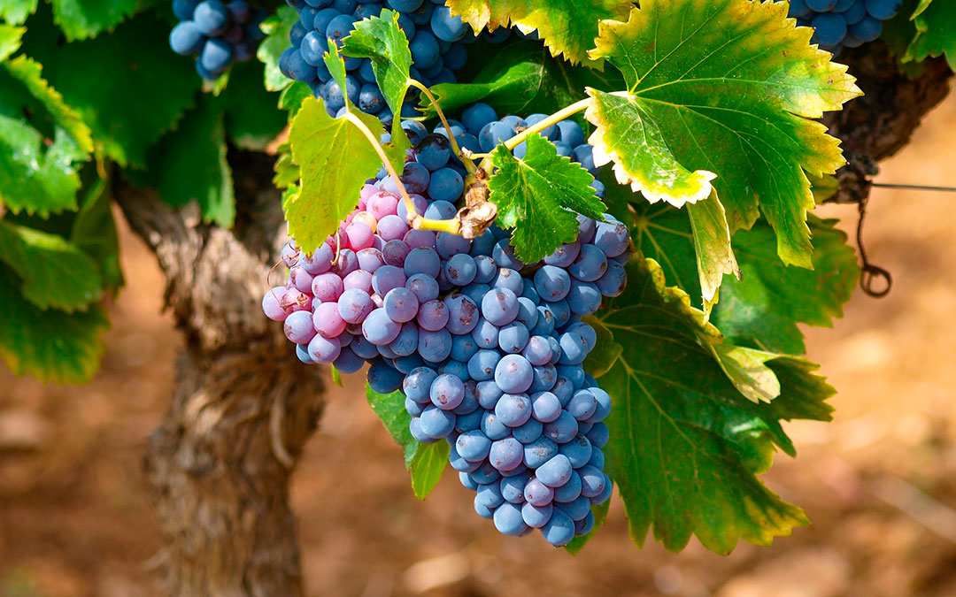 Imagen genérica de un racimo de uva./ L.C.