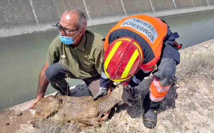 Rescatan un corzo del canal Calanda-Alcañiz