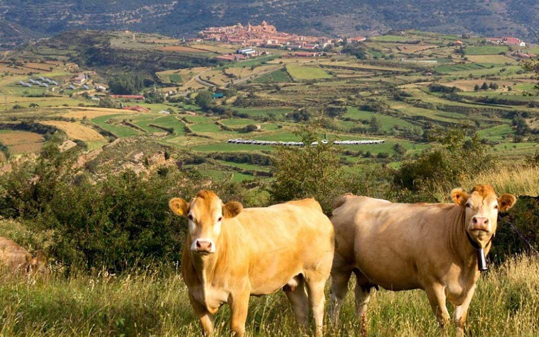 El ganado vacuno es de gran importancia en la Comarca del Maestrazgo