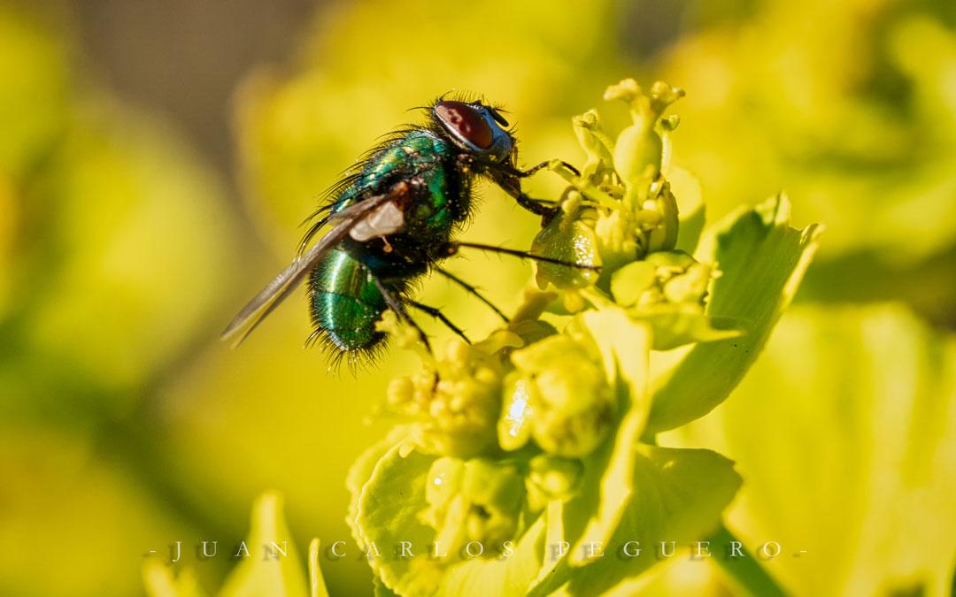 Una mosca captada al detalle. / Juan Carlos Peguero