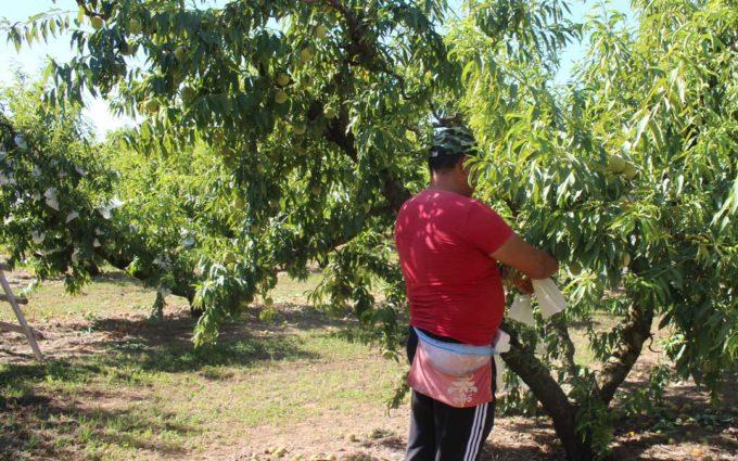 El 85,4% de los fruticultores aragoneses han informado de las previsiones de contratación de temporeros