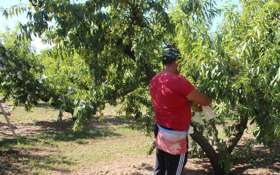 Un trabajador embolsando el melocotón en un campo de Puigmoreno hace unos días / L. Castel