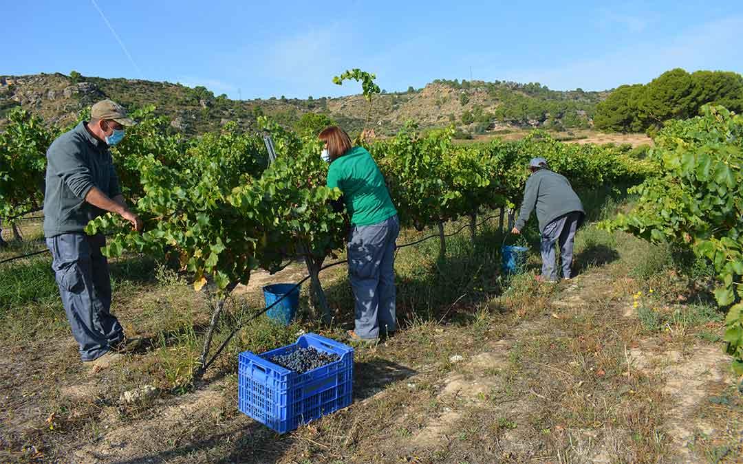 vendimiado las viñas de las Bodegas Guallart durante el mes de septiembre./ M. Celiméndiz