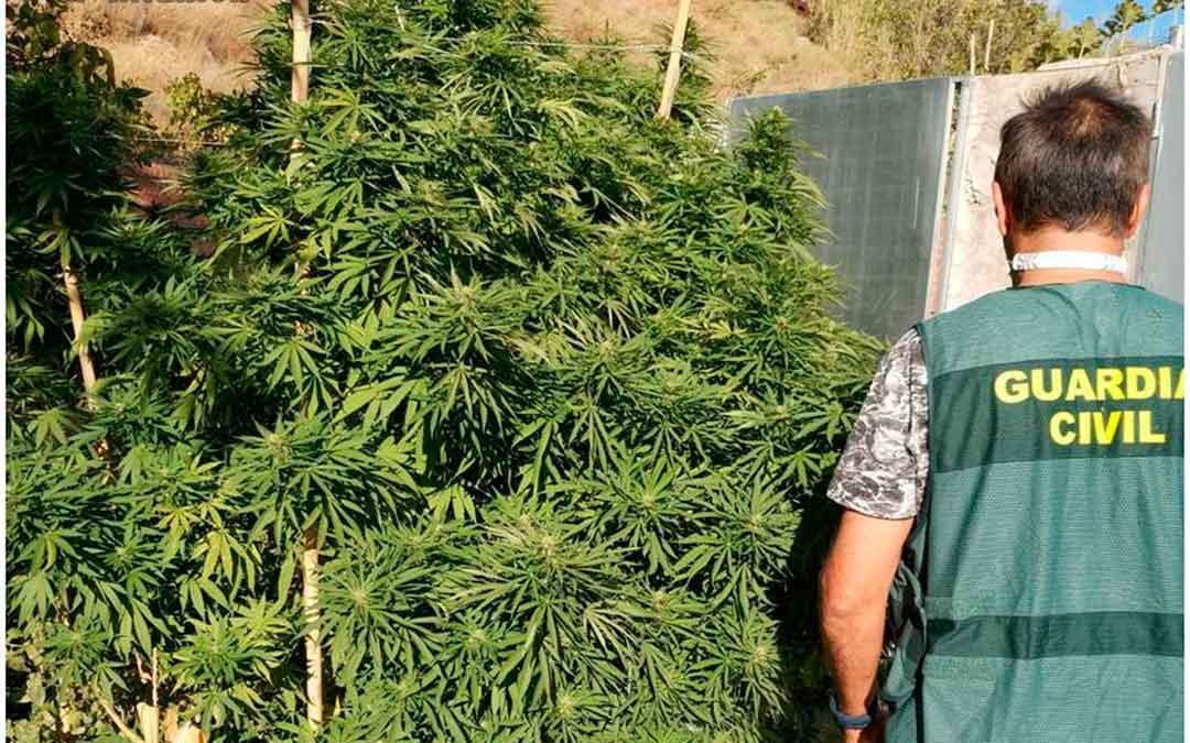 Un agente con parte de las plantas de marihuana incautadas. Fuente: Guardia Civil.