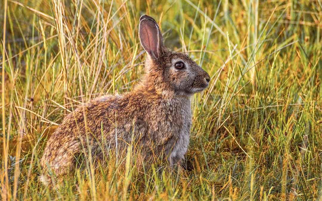 conejo-caza