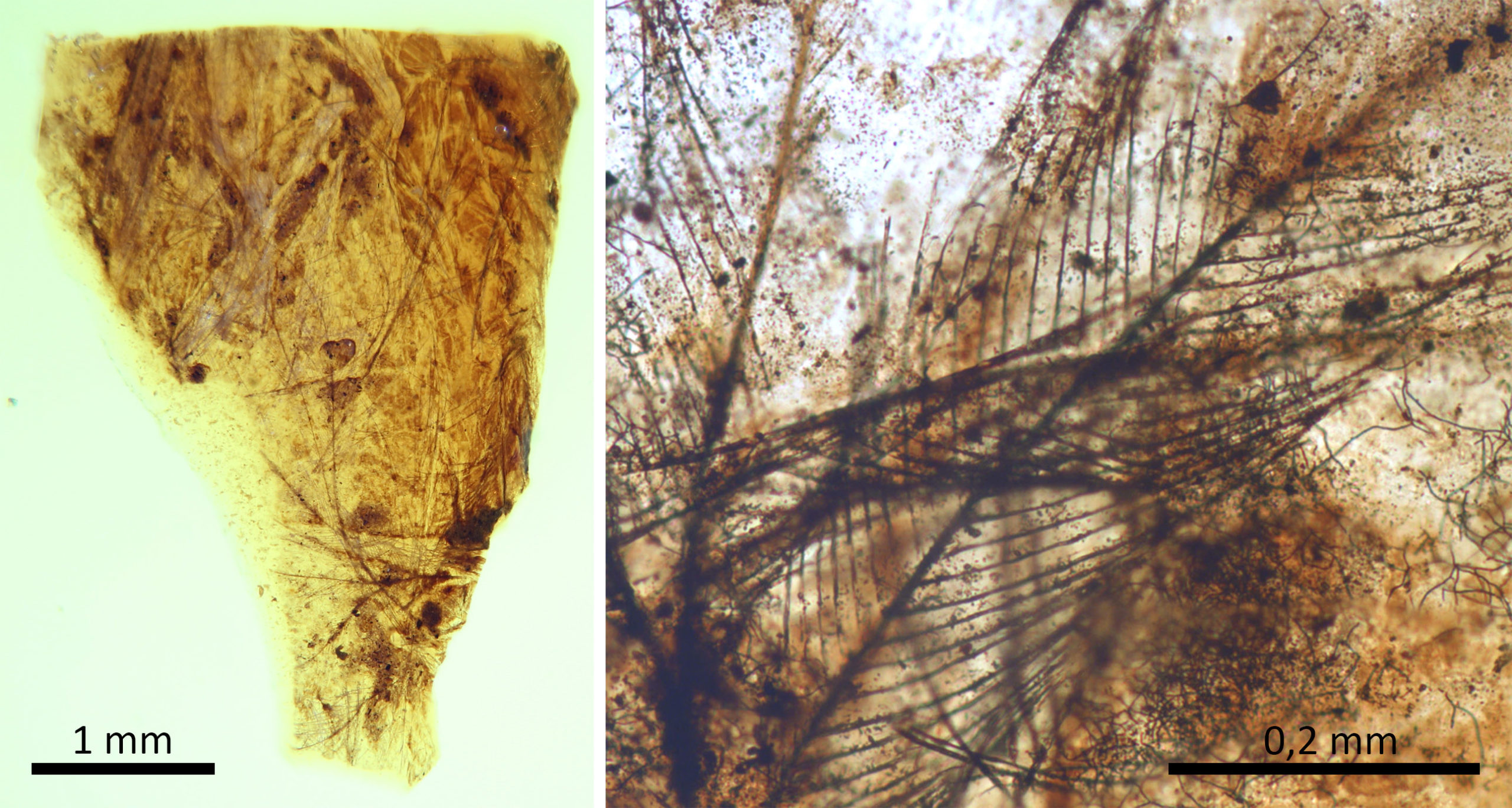 Pieza de ámbar del yacimiento turolense de San Just con restos de plumas de dinosaurio / scientific reports