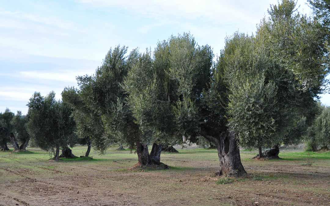 Campo de olivos de variedad empeltre en el Matarraña. FOTO: Javier de Luna.