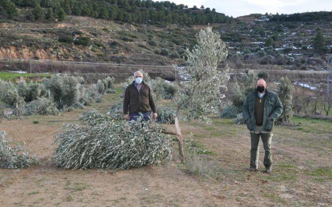 Filomena daña el 50% del olivar en zonas de baja y media altitud