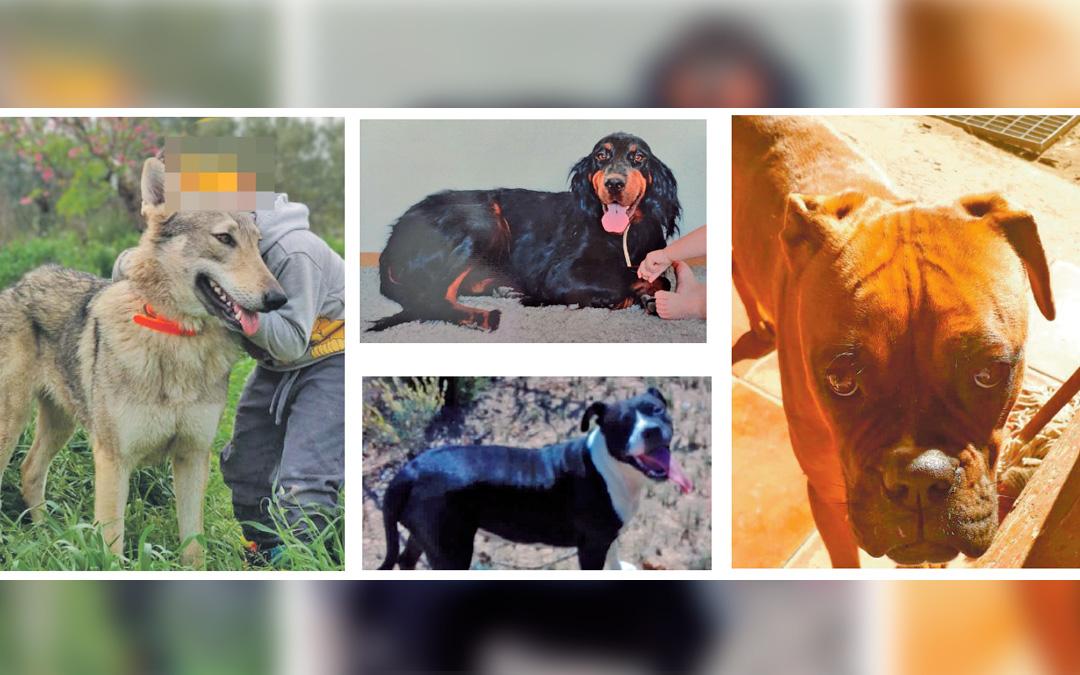 Imagen de algunos de los perros desaparecidos el último mes en Caspe y Maella. Por orden de imágenes: Loba, Rumba, Gorda y Luna.