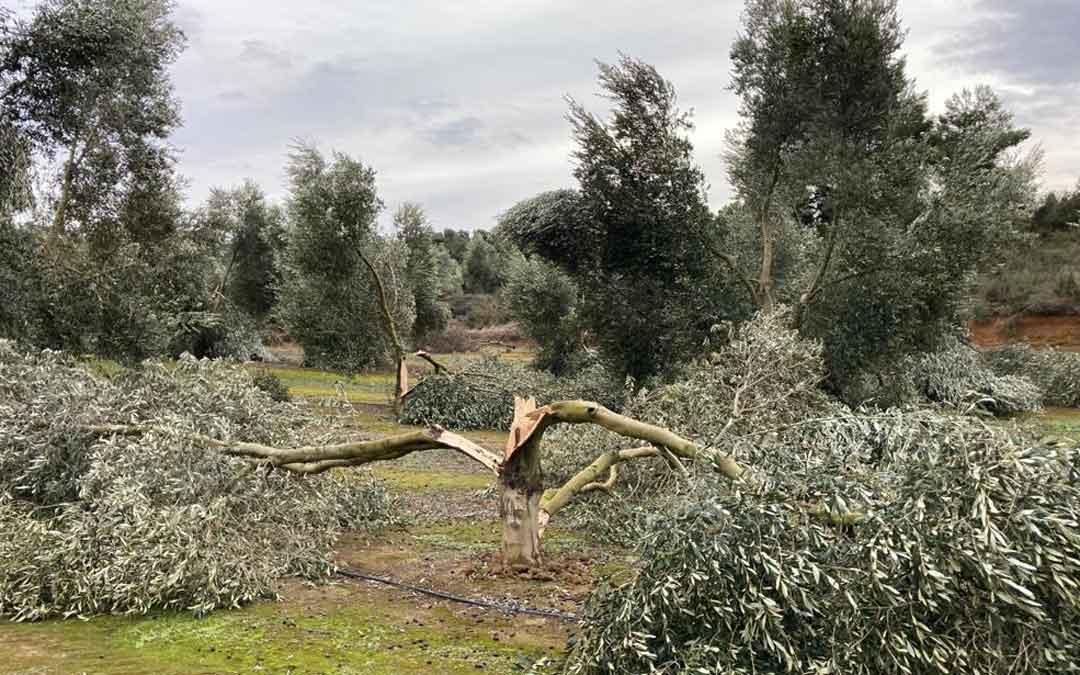 Un olivo tronchado por efecto del temporal Filomena. Foto: UAGA Caspe
