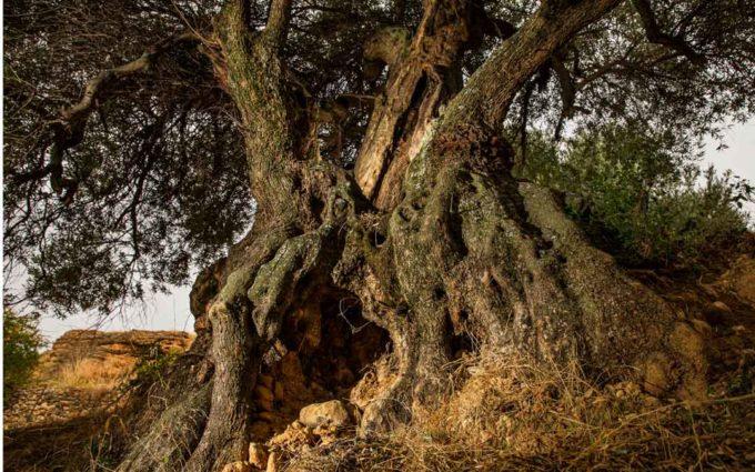 Los olivos milenarios de Peñarroya de Tastavins pasarán a formar parte de una ruta turística