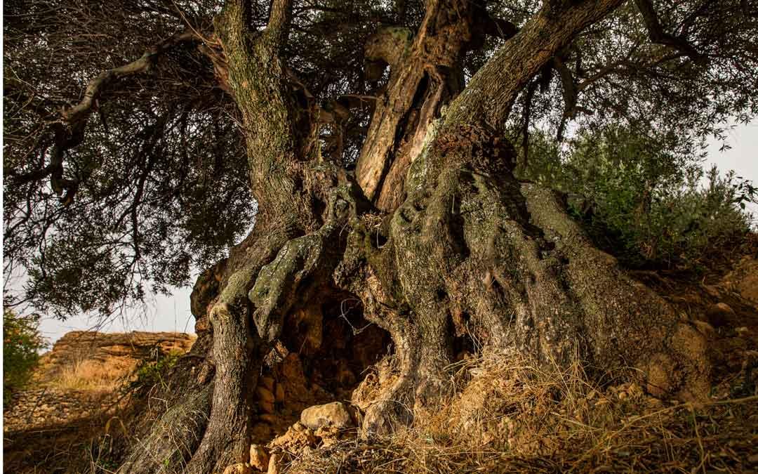 Uno de los olivos milenarios con los que cuenta Peñarroya de Tastavins. Foto: Taula del Senia