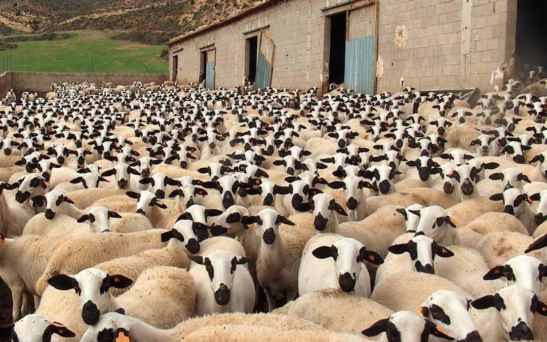 Ovejas de raza Ojinegra de una de las ganaderías ubicadas en el Maestrazgo./AGROJI