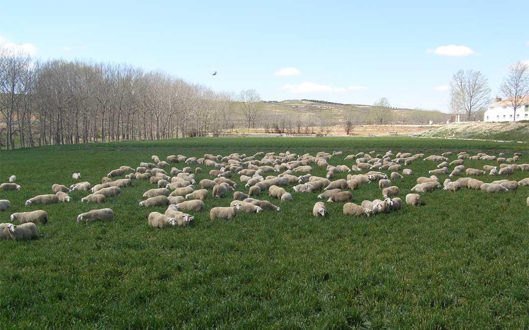 Imagen de un rebaño de ovino./ DPT